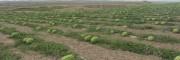 宁夏中卫石头缝里的西瓜