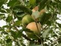"""""""苹果""""中的营养知识"""