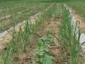 2015年西瓜套种玉米介绍