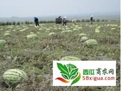 2021年宁夏中卫西瓜代办硒砂瓜种植产地价格行情