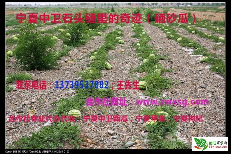合作社文字西瓜图片 (1)