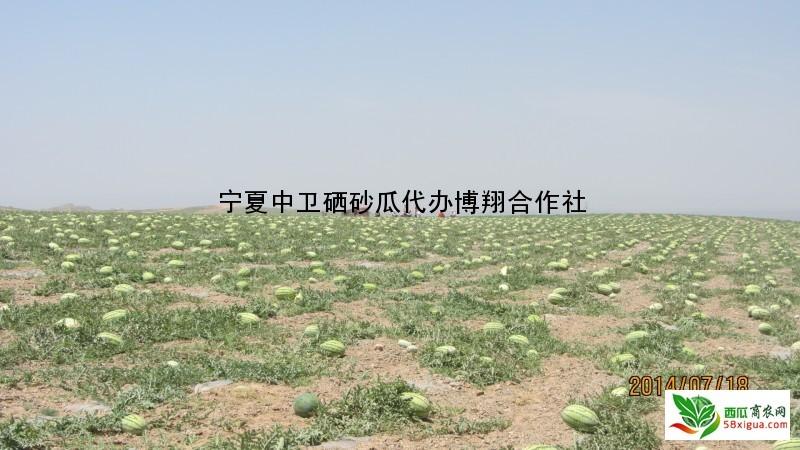 硒砂瓜西瓜图二