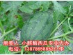 2016广西崇左西瓜代办产地批发供应销售广西黑美人西瓜