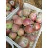 山东日照产地美八苹果大量上市