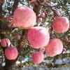 种植户山东红富士苹果价格交易信息行情