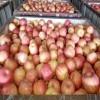 代办种植山东哪里红富士苹果上市了