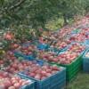 陕西红富士苹果交易市场/陕西红富士苹果批发网