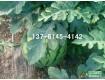 江苏8424西瓜价格大棚西瓜种植基地