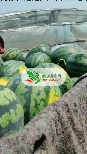 甜王西瓜图二