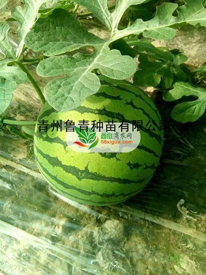 甜王西瓜图一