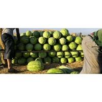 新疆安农金城西瓜 肉美色正 价格公道 对接全国批发市场