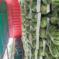 露天美都 8424 黑无籽西瓜大量上市 货源多多 欢迎采购
